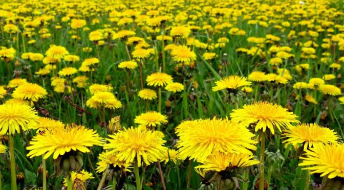 sumitomo-rubber-to-start-a-joint-study-of-the-us-company-as-russian-dandelion-as-a-new-natural-rubber-resources20150807-1