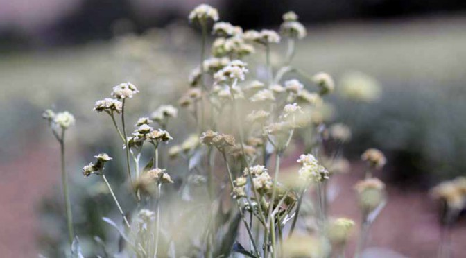 pirelli-developed-the-first-high-performance-tires-using-natural-rubber-from-a-guayule20160203-2