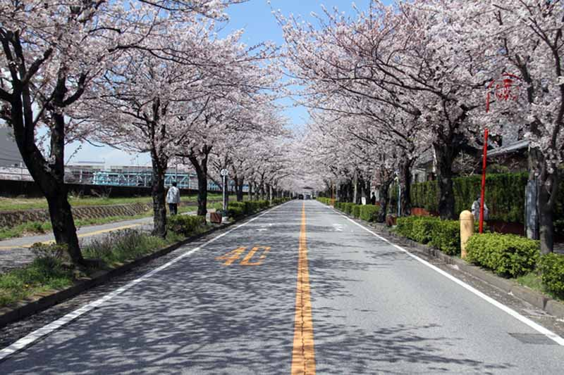 placeholder-banquet-is-obsolete-rickshaw-cherry-blossom-viewing-in-private-car-cherry-blossom-viewing-superb-style-7-election-admire-the-cherry-blossoms20160319-4