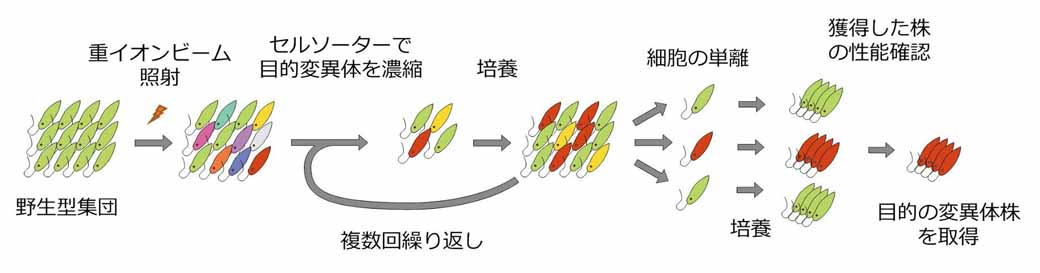 impact-success-in-the-development-of-breeding-methods-for-selecting-the-euglena-variants-that-produce-a-lot-of-oil20160526-1
