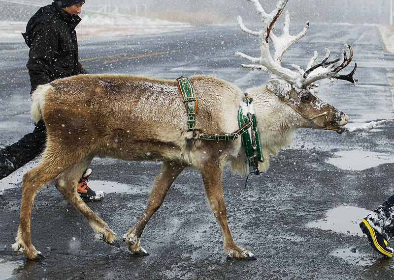domino-%c2%b7-pizza-pizza-delivery-training-by-reindeer-in-front-of-winter-snowfall-season20161125-2