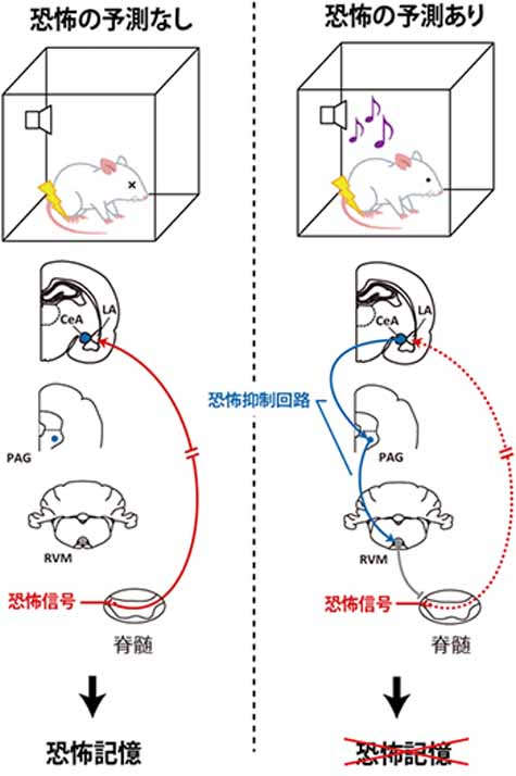riken-clarifies-the-mechanism-of-braking-in-the-brain-to-suppress-excessive-fear20161120-2